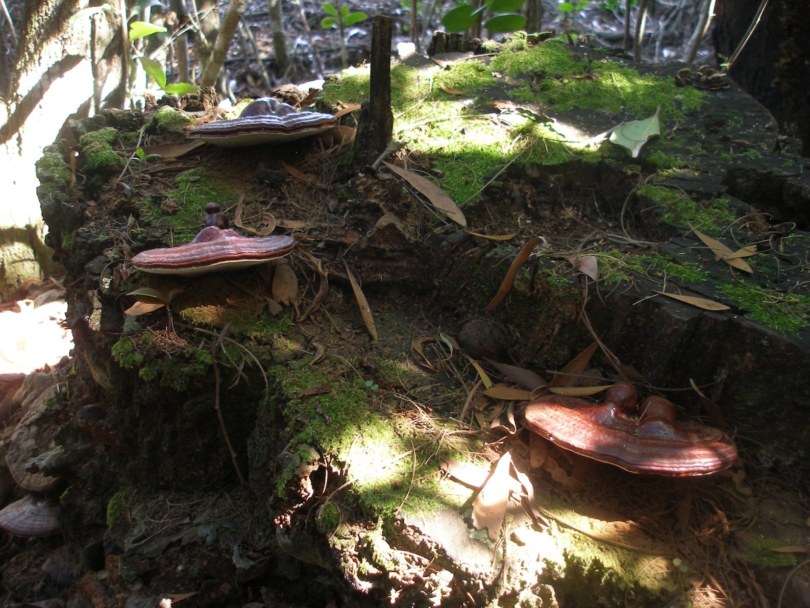 P4100063-reishi-cover-edited.jpg