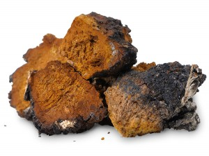 Chaga - King of the Polypores
